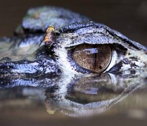 week in wildlife: The eye of a black caiman is seen in Tiputini river, Yasuni National Park