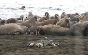 week in wildlife: Thousands of walruses come from Chukchi Sea to shores of Alaska