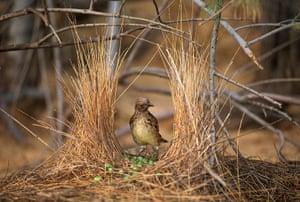 week in wildlife: Male Western Bowerbird Standing in His Nest