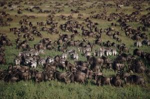 Serengeti National Park: EASTERN WHITE BEARDED WILDEBEEST