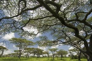 Serengeti National Park: Flat Top Acacia, Acacia abyssinica,