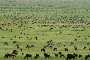Serengeti National Park: Wildebeests grazing, Connochaetes sp., Serengeti National Park, Tanzania
