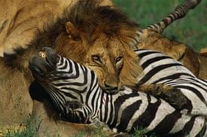 Serengeti National Park: Male Lion Killing a Zebra