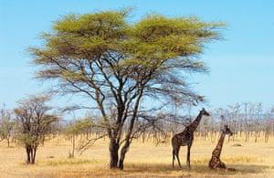 Serengeti National Park: Giraffes, Serengeti, Tanzania