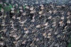 Serengeti National Park: Kenya, Masai Mara Game Reserve, Huge Wildebeest