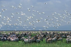 Serengeti National Park: A huge herd of Common Zebra with a flock of Cattle Egrets flying
