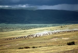 Serengeti National Park:  Wildebeest stampede on the dry grassy plains
