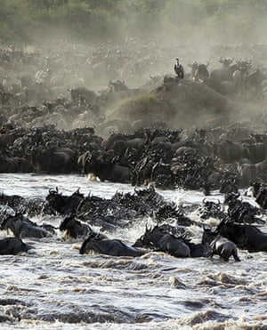Serengeti National Park: 1.5 million wildebeests as they cross the Mara river