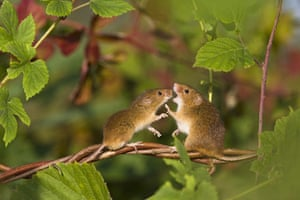 Harvest Mouse:  A harvest mouse female pushing a male on a branch