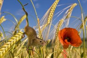Harvest Mouse: A harvest mouse climbs down a wheat plant
