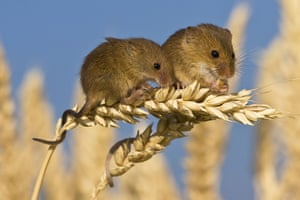 Harvest Mouse: Harvest mice on an ear of wheat