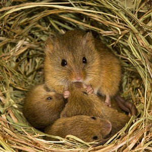 Harvest Mouse: A female harvest mouse to feed her cubs (aged 10 days old)