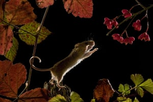 Harvest Mouse: A harvest mouse leaps through the air at night