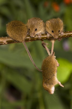Harvest Mouse:  Young harvest suspended in the air on the tails of his fellow critters