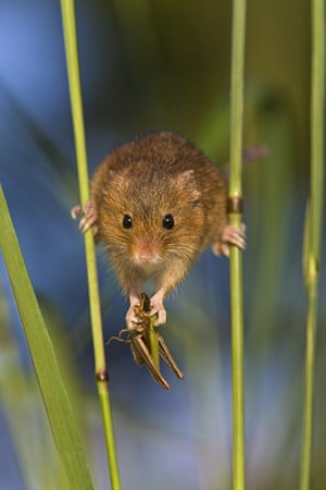 Harvest Mouse:  A harvest mouse balancing between two stalks of grass
