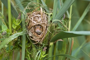 Harvest Mouse: A harvest mouse in a nest made from Phragmites reeds
