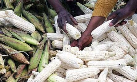 Food crisis: buyers pick maize