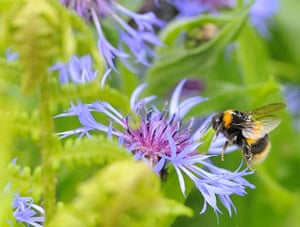 Biodiversity 100: A bumble bee prepares to land on a plant in Boroughbridge