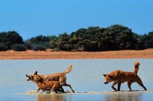 Biodiversity 100: Dingo