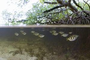Biodiversity 100: Archerfish in Mangrove Swamp, Indonesia