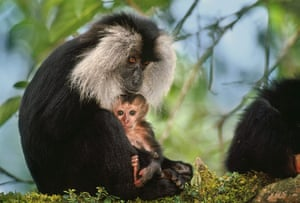 Biodiversity 100: Lion-Tailed Macaque Mother and Infant