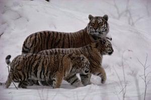 Biodiversity 100: Russia : Siberian tigers