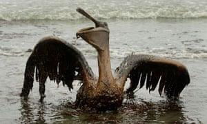 Oily pelican gulf oil spill