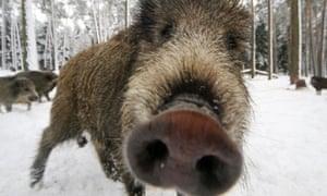 wild boar LM