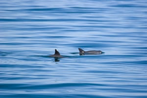 Biodiversity 100: Two vaquitas in the upper gulf of california, Mexico