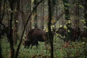 Biodiversity 100: Bialowieza Forest Bison Cow and Calf
