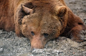 Biodiversity 100: A Cantabrian brown bear lies inside a cage in northern Spain