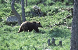Biodiversity 100: The Pyrenean bear - smallest of the brown bear family, France