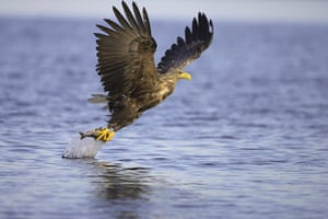 Biodiversity 100: White-tailed eagle taking off from water with fish