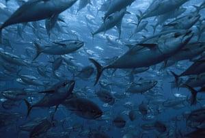 Biodiversity 100: Japan , School of southern bluefin tuna