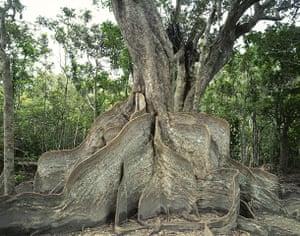 Biodiversity 100: Trees in forest, Iriomote, Okinawa Prefecture, Japan