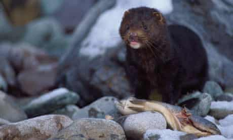 Mink eating trout