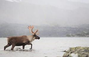 Biodiversity 100: Woodland Caribou Bull Crossing a Mountain Lake on the Alberta Canada
