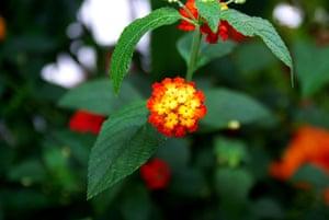 Biodiversity 100: Tiny colurful flowers Lantana