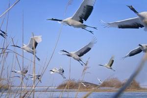 Biodiversity 100: Red-crowned Cranes in Flight