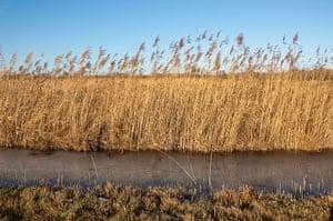 Biodiversity 100: Reeds at Wicken Fen, Cambridgeshire