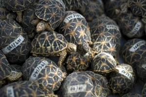 Food crisis: Seized endangered Star Tortoises lay in