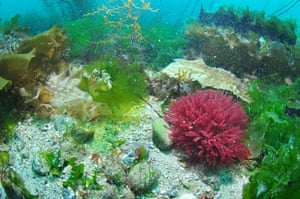 Food crisis: Seafloor with red and green seaweeds