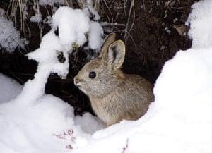 Food crisis: Undated photograph of pygmy rabbit in Salmon, Idaho