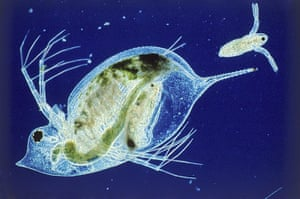 Bike blog: Water flea with young at birth