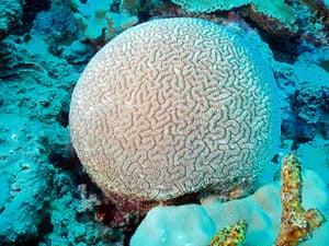 Endangered Corals: Ctenella coral - Ctenella chagius