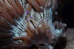 Endangered Corals: Elegance coral - Catalaphyllia jardinae