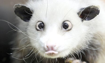 Heidi the cross-eyed opossum at Leipzig zoo has become an unlikely internet sensation