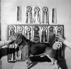 George Pickow: Champion Hound Beagle