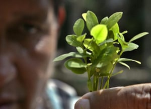 Coca products: A Bolivian man holds up a coca seedling during a visit in Monte Sinai