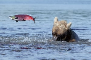 Russian bears: A salmon makes a flying leap to freedom